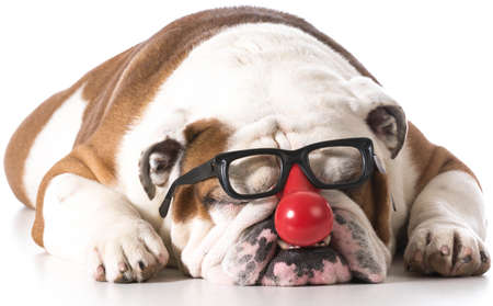dog wearing clown glasses on white background - english bulldog