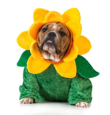 hond gekleed als een bloem - Engels bulldog dragen zonnebloem kostuum op een witte achtergrond Stockfoto