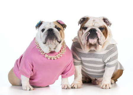 dog couple - english bulldog male and female dressed in clothing sitting beside each other on white background