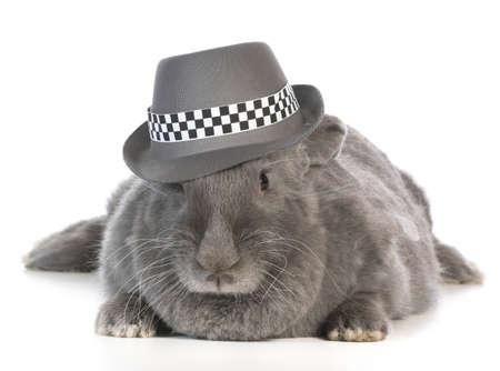 funny bunny - giant flemish rabbit wearing fedora on white background