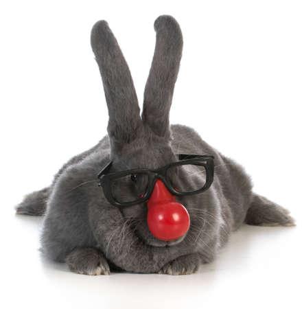 conejito divertido - conejo gigante flamenco que desgasta la nariz de payaso y gafas sobre fondo blanco