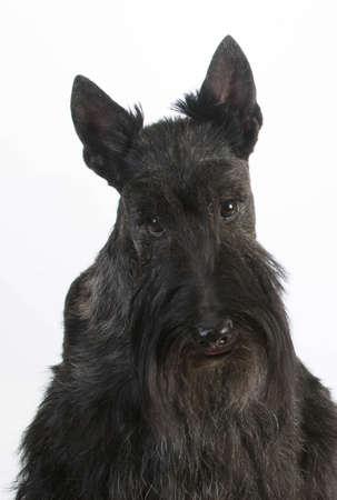scottish terrier portrait on white background