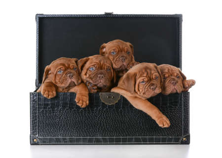litter of puppies - five week old dogue de bordeaux pups in a trunk on white background Stock Photo