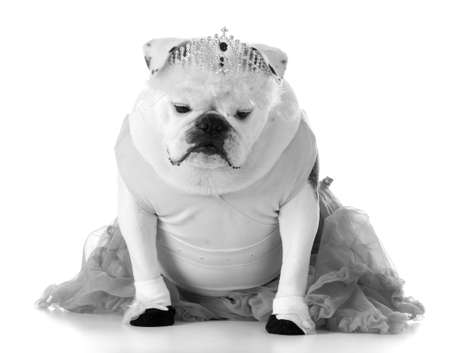 dancing dog - english bulldog dressed like ballerina Stock Photo