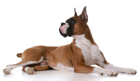purebred boxer laying down on white background