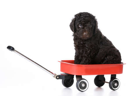 puppy sitting in a red wagon - 5 week old barbet