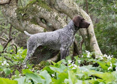森の中でドイツ ・ ショートヘアード ・ ポインター立って