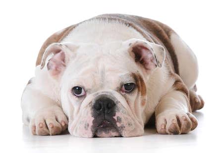 英語ブルドッグ子犬敷設孤立した白い背景の上で-5 ヶ月 写真素材