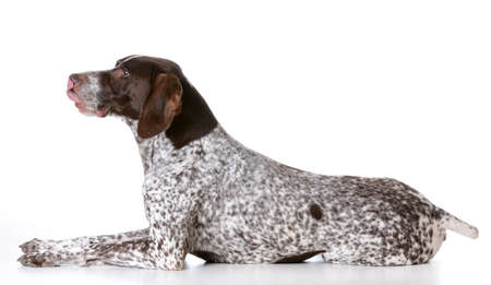 german shorthaired pointer laying down on white background Фото со стока