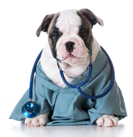 獣医ケア - 白い背景の上に聴診器を着て英語ブルドッグ
