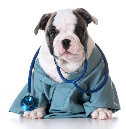 veterinary care - english bulldog wearing stethoscope on white background