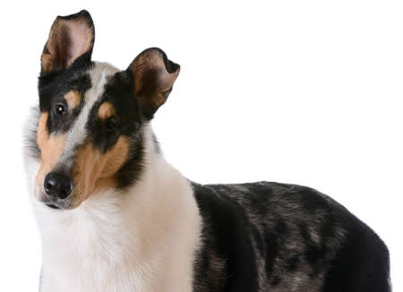 smooth haired collie portrait on white background
