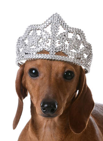 spoiled dog - miniature dachshund wearing tiara on white background Stock Photo