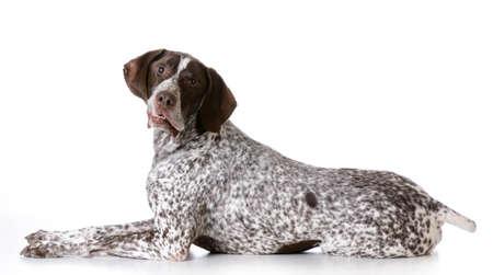 シニア犬の白い背景の上の愚かな表現とドイツ ・ ショートヘアード ・ ポインター
