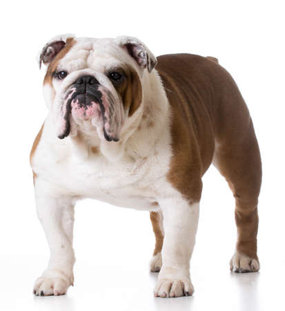bulldog standing looking at viewer on white background