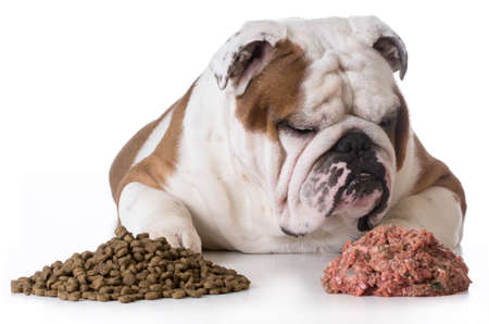 dog choosing raw over kibble - bulldog Stockfoto