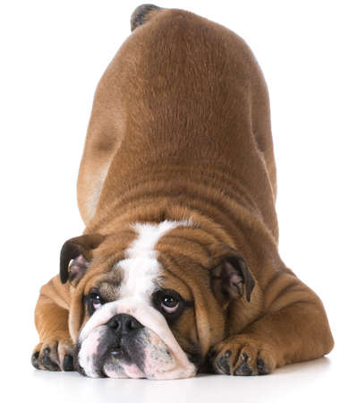 dog bowing - bulldog puppy with bum up in the air on white background Foto de archivo