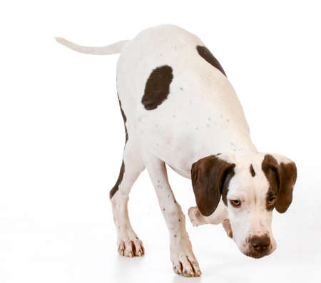 hunting dog - pointer smelling the ground isolated on white background