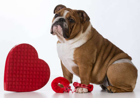 valentines day dog - english bulldog dressed up on white background Stock Photo