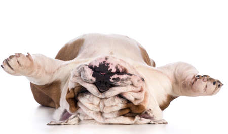 dog sleeping upside down isolated on white background - bulldog