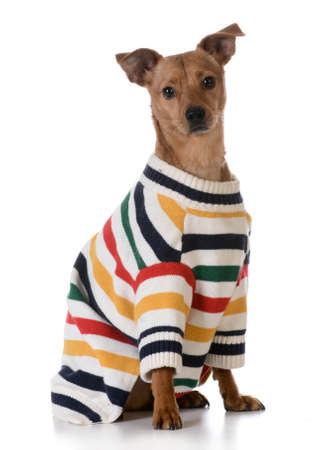 dog wearing a sweater Imagens