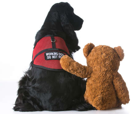 therapy dog being comforted by a teddy bear on white background