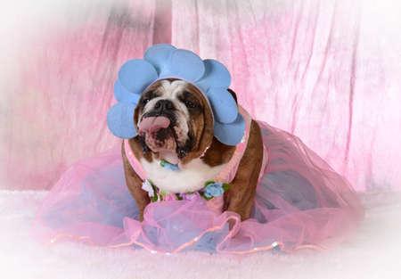female dog with attitude wearing pink dress with- bulldog Stock Photo