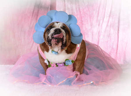 female dog wearing pink dress - bulldog
