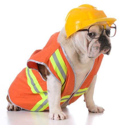 개 작업 - 불독 흰색 배경에 건설 노동자처럼 옷을 입고