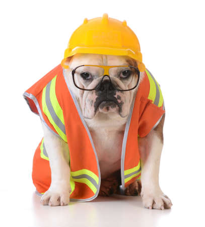 working dog - bulldog dressed up like construction worker on white background Banco de Imagens - 38609096
