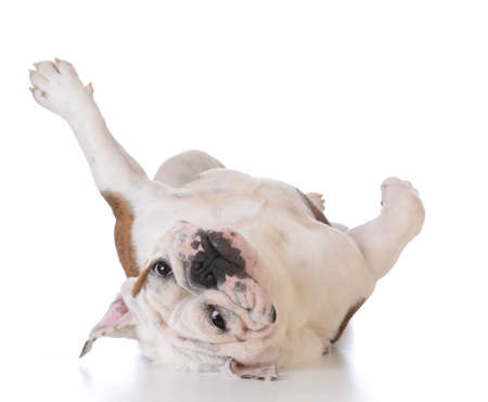 itchy dog - bulldog laying upside down looking at viewer on white background Stockfoto