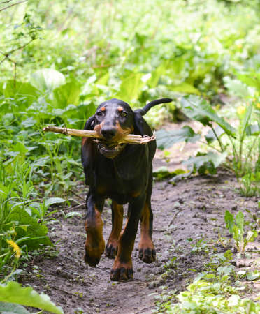 black and tan coonhound walking on a pathway Stock Photo