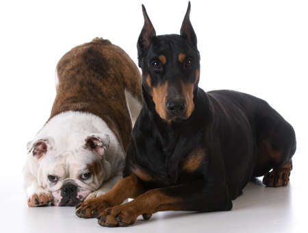 two dogs - bulldog and doberman together on white background Banco de Imagens