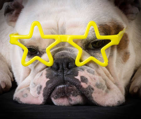 famous dog - bulldog wear yellow star glasses