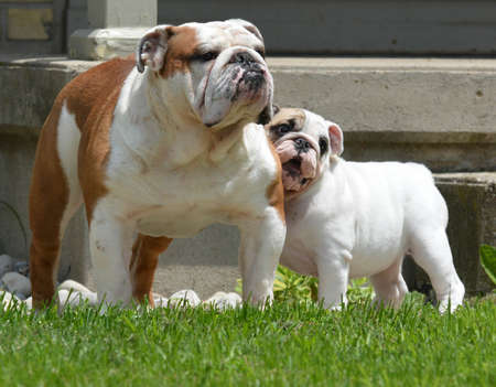 bulldog puppy and adult outside in the summer Stockfoto