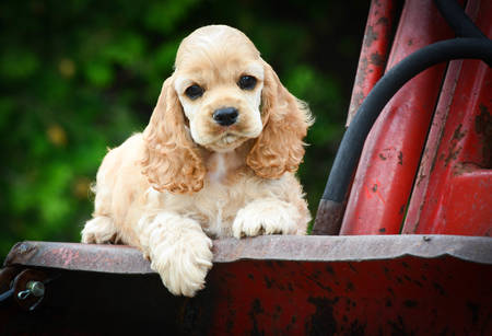 cute puppy laying on rusty tractor - american cocker spaniel