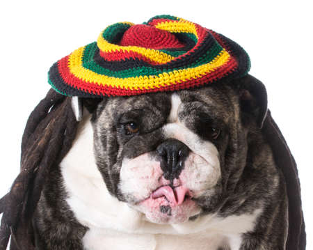 funny dog wearing dreadlock wig on white background - bulldog