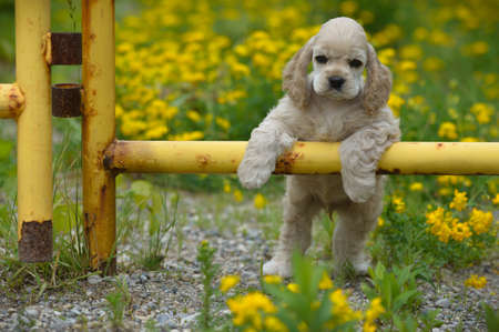 cute puppy - american cocker spaniel puppy with paws on metal fence 스톡 콘텐츠