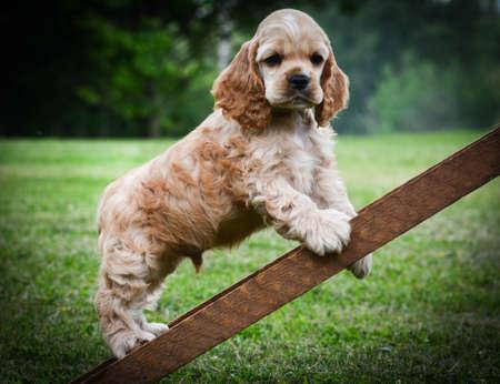 curious puppy climbing up a ladder - american cocker spaniel