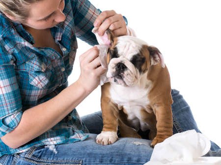 dog grooming - bulldog getting ears cleaned by woman Stockfoto