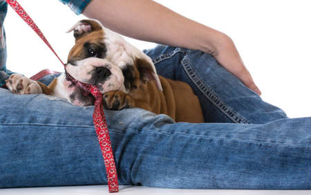 womans legs with puppy - bulldog