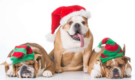 three bulldogs dressed up for christmas on white background Stock Photo