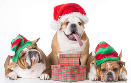 three bulldogs wearing santa and elf costumes on white background Archivio Fotografico