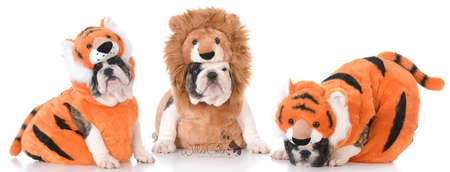 litter of bulldog puppies dressed up like lions and tigers Stock Photo