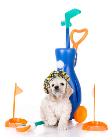 american cocker spaniel puppy with toy golf clubs on white background