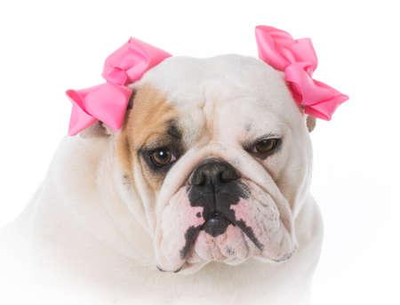 female english bulldog portrait on white background Stock Photo