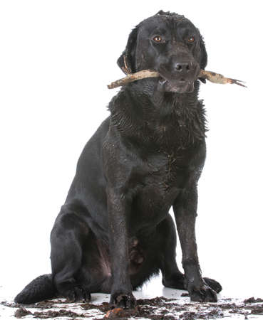 sucio perro con un palo en la boca en el fondo blanco