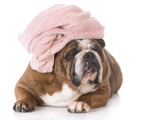彼女の頭は、白い背景で隔離を包んだタオルでお風呂の後英語ブルドッグ 写真素材