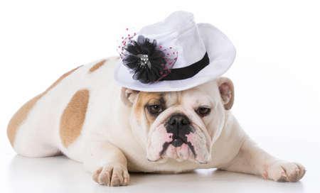 female english bulldog wearing a hat on white background Stock Photo