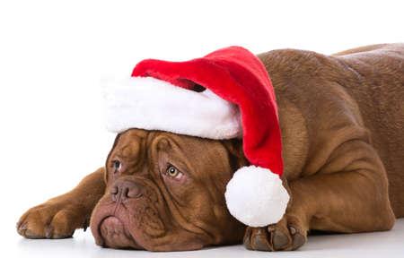 dogue de bordeaux wearing santa hat on white background